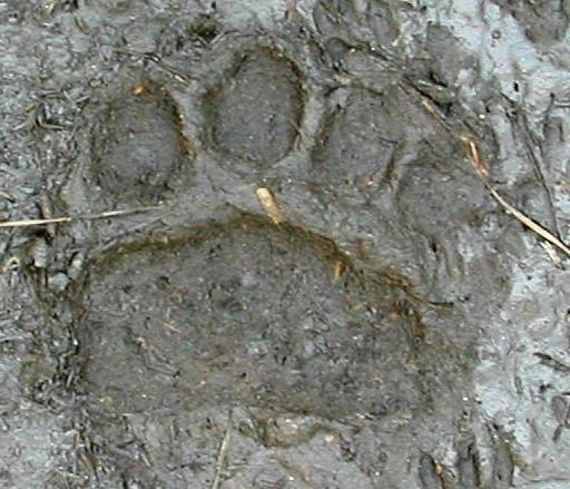Florida Black Bear Paw Print