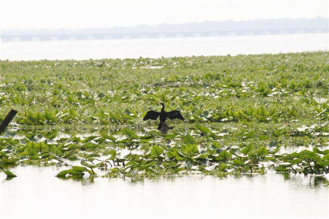 Anhinga on Lake Jesup