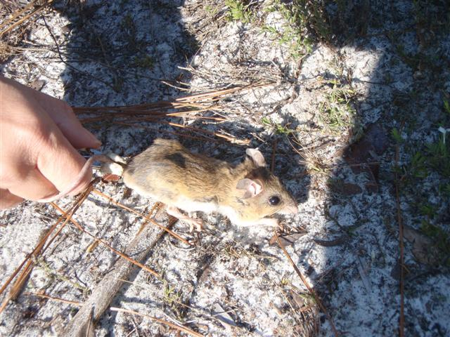 Florida Mouse Monitoring